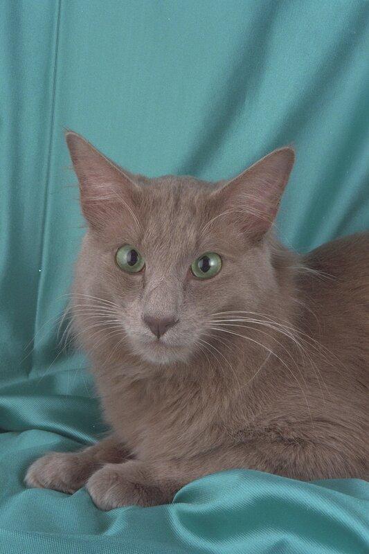 Кошка турецкая ангора фото 2