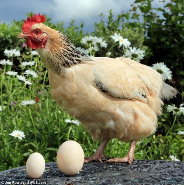 Как курица делает яйцо фото