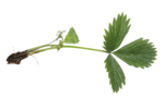natali_strawberry_leaf2.png