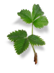 natali_strawberry_leaf3-sh.png