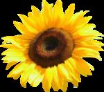 «AD_Sunflower_summer»  0_8c78f_7a5f44db_S