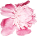 Lilas_Greedy-Pink_elmt (95).png