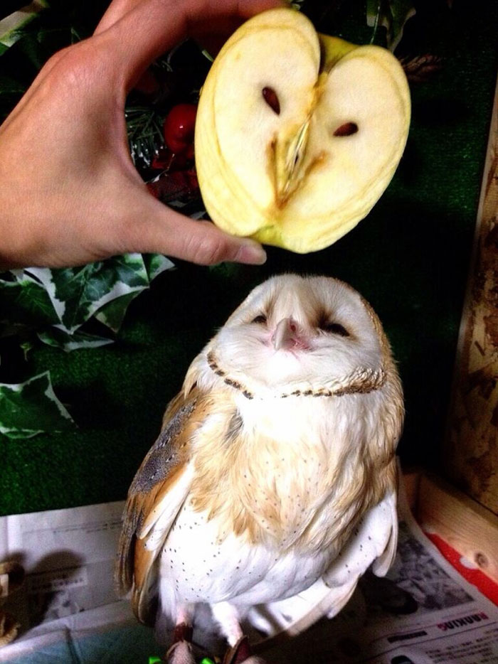 Сова и дальний родственник совы — яблоко.