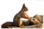 squirrel2_999x677.png