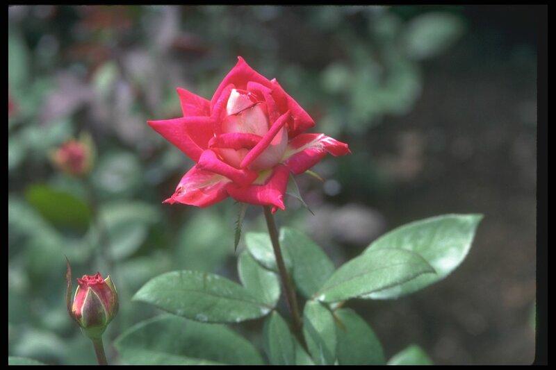 Цветок розы красной, с острыми краями лепестков.