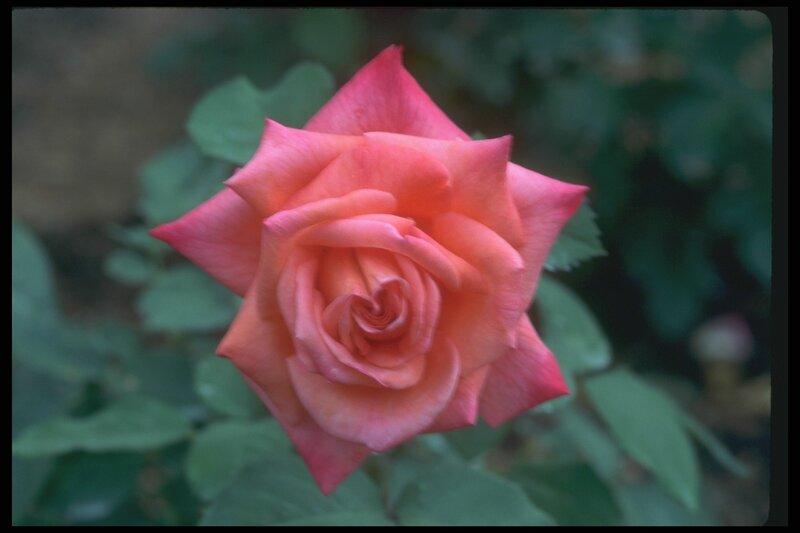 Роза с острыми лепестками.