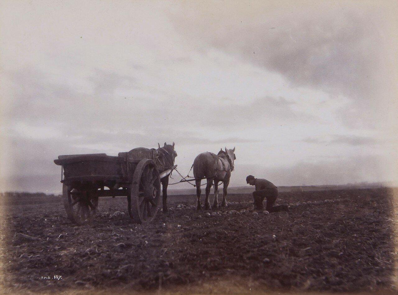 1880-е. В поле. Уитби