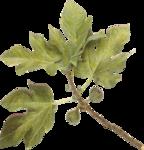 Lilas_Old-Garden_elmt (50).png