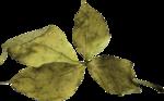 Lilas_Old-Garden_elmt (57).png