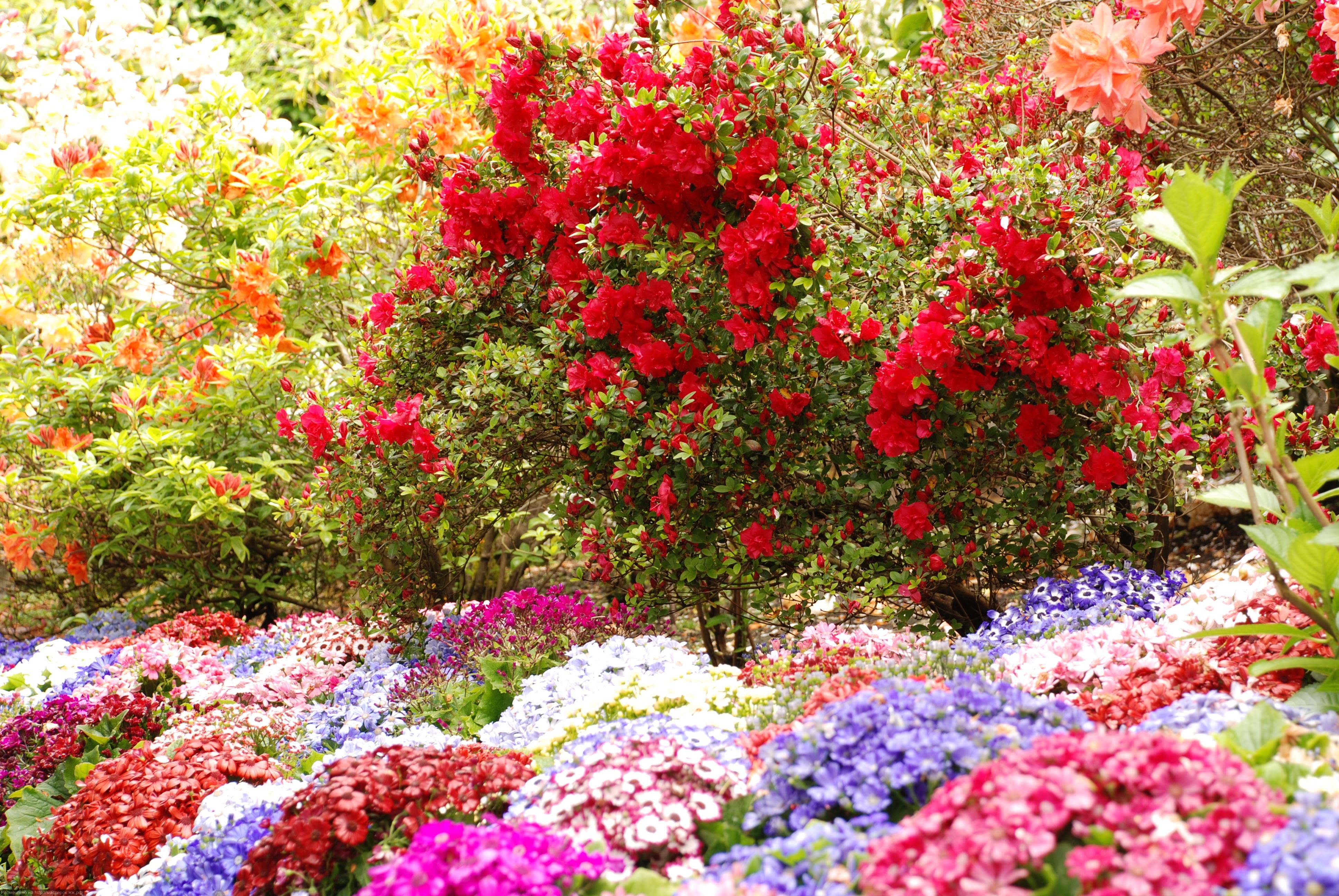 Розы чайные в саду фото