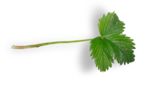 natali_strawberry_leaf4-sh.png