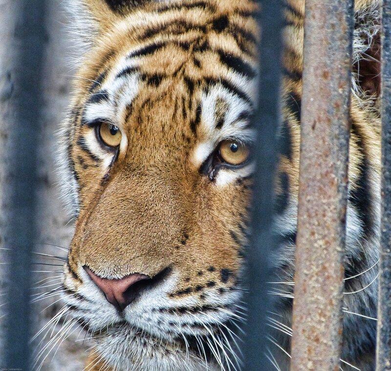 Новосибирский зоопарк фото амурского тигра