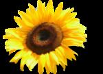 «AD_Sunflower_summer»  0_8c791_384d759_S