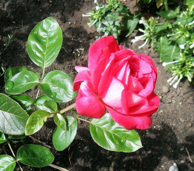 Цветы, август 2012