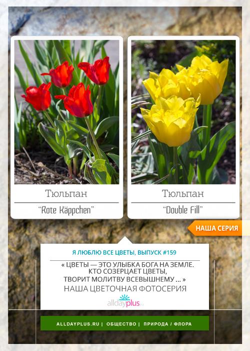 Я люблю все цветы, выпуск 159 |  Тюльпаны «Rote Käppchen» и «Double Fill».