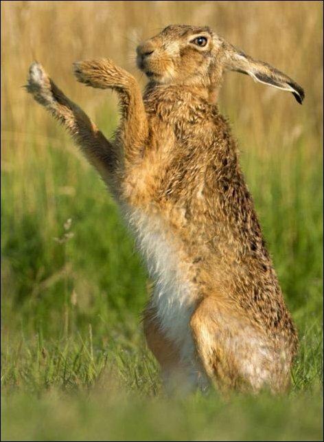 Брачные игры зайцев: бьет значит любит