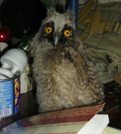 Взросление совы