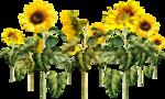 «AD_Sunflower_summer»  0_8c79d_2c114fe8_S