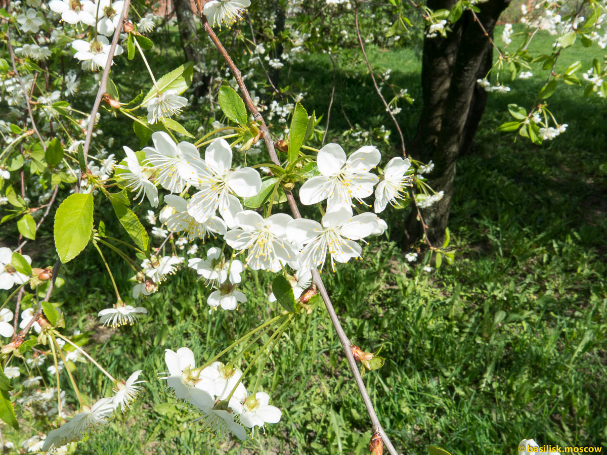 Весна в Коломенском. 2015.