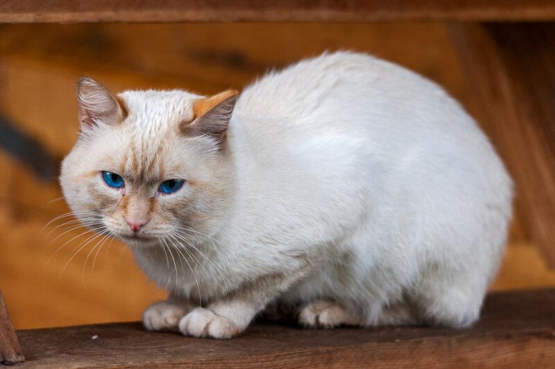 Алтайский кот-дружелюб с рыжим ухом и голубыми глазами