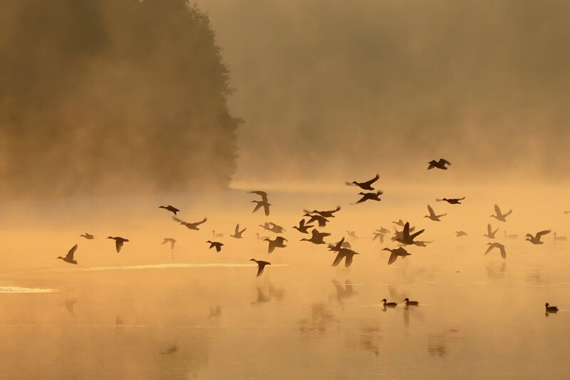 Утки в утреннем тумане...