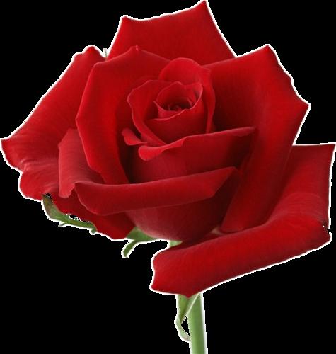 Это цвет любви и страсти во