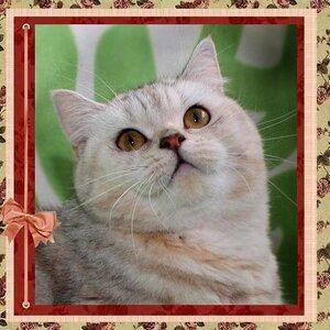 Samanta Planet of Love (BRI fs 22 62) британская короткошерстная кошка черного черепахового серебристого мраморного окраса
