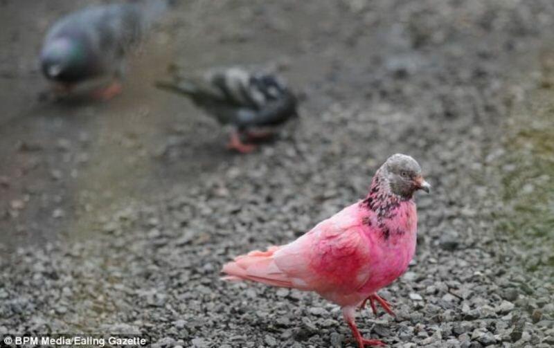 Голубь притворился фламинго?