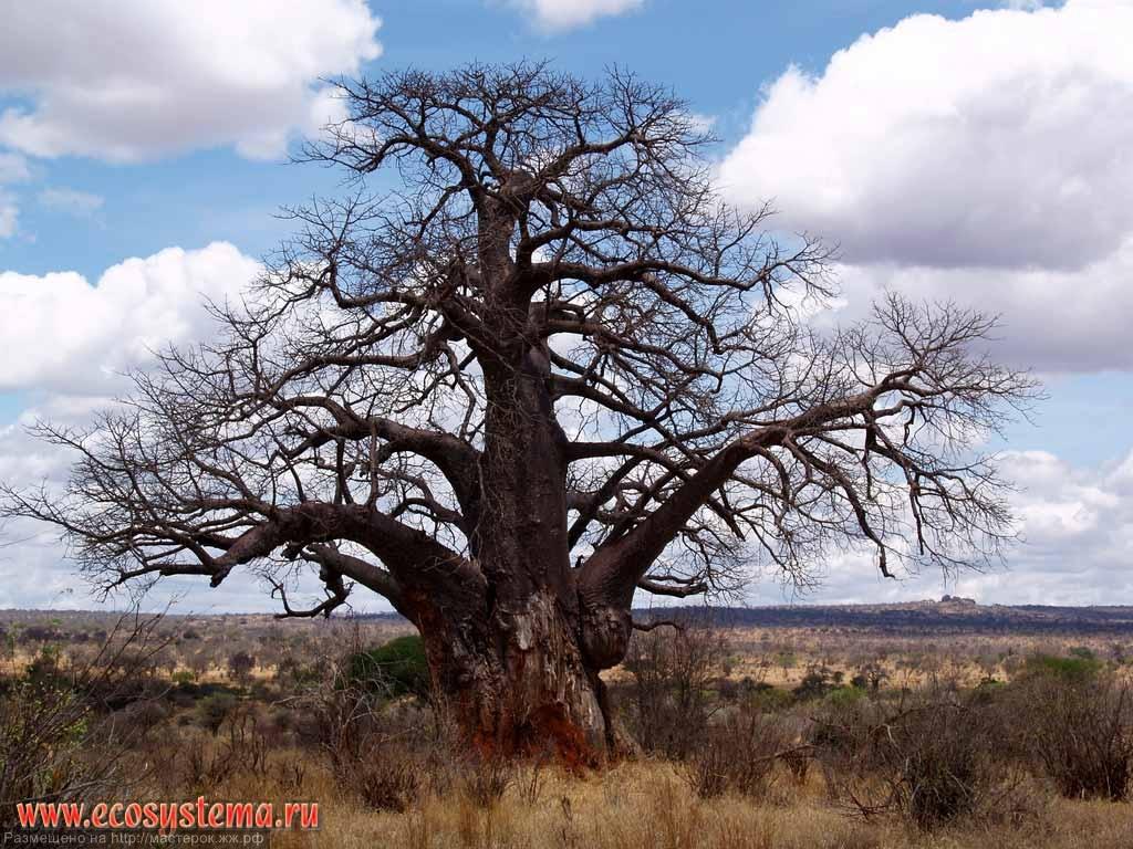 Картинки баобаба в африке