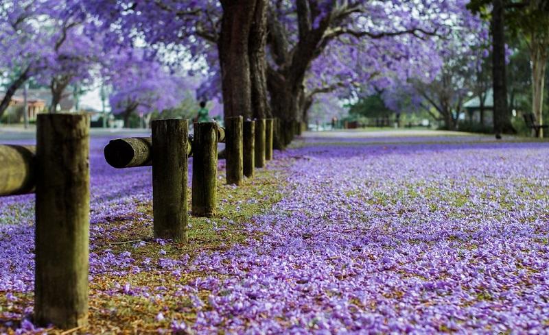 Sembrado de flores de Jacaranda calle