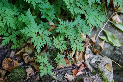 Герань Роберта (Geranium robertianum)Тэг на ЯФ:  Флора Тульской области Автор фото: Привалова Марина