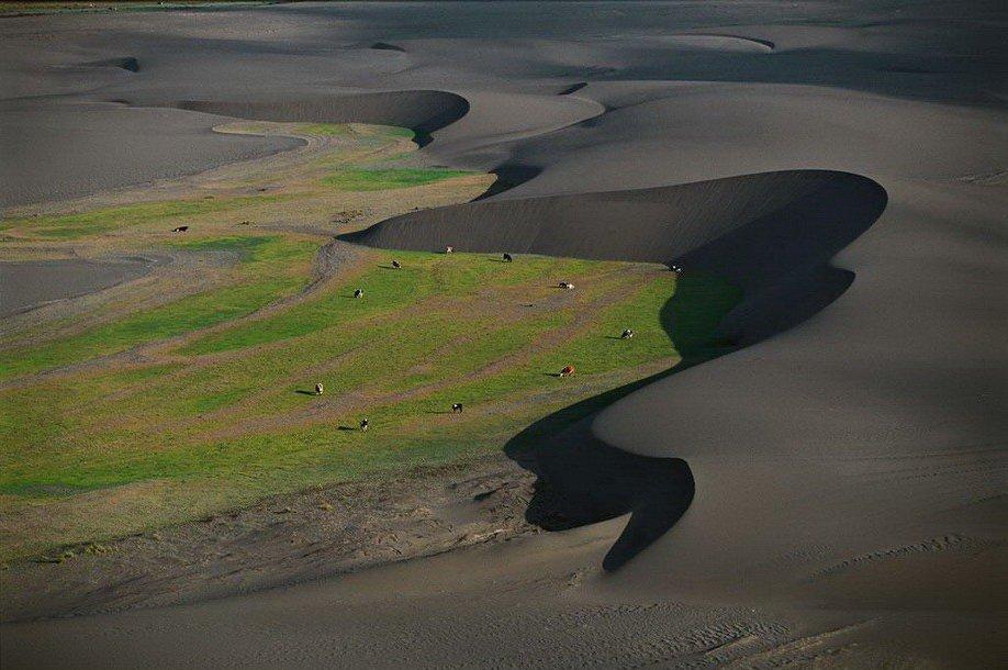 25. Коровы на пастбище между дюнами в Чили.