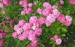 Розовое множество