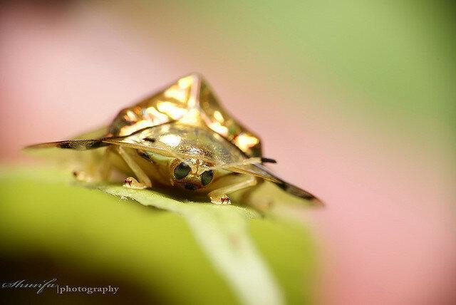 Жук Золотая Черепаха