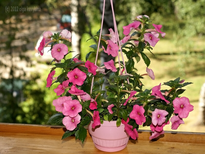 Ахименес «Rosa Charm»
