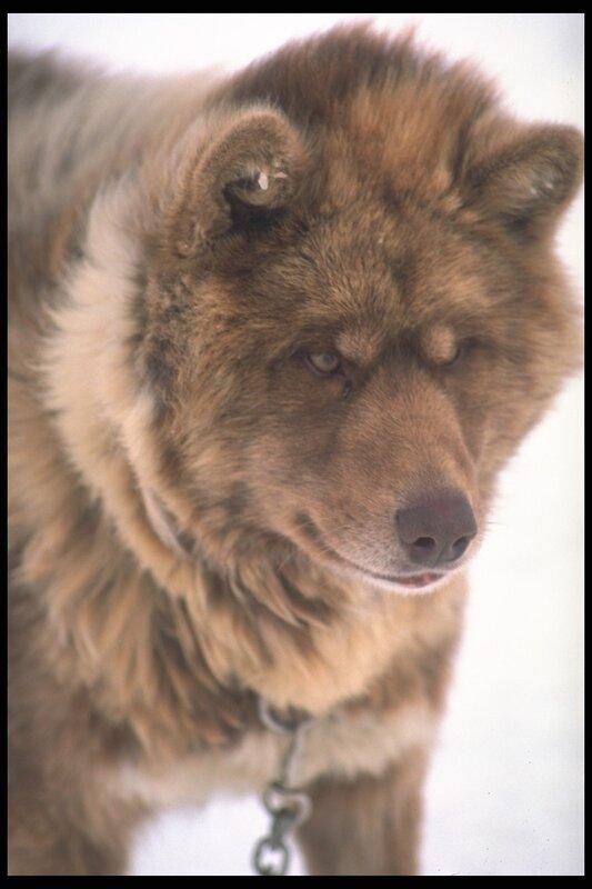 Канадская эскимосская собака фото 4