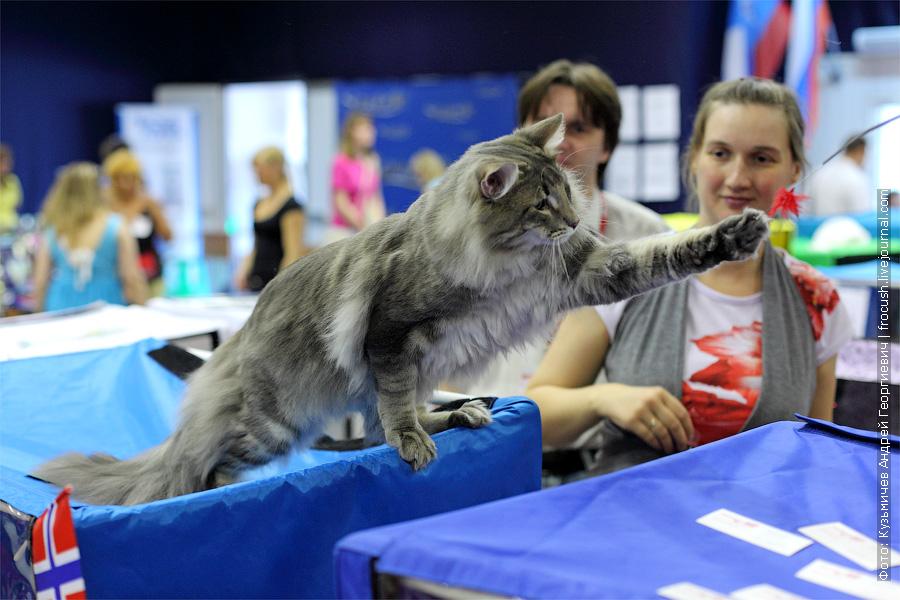 норвежская лесная на выставке кошек