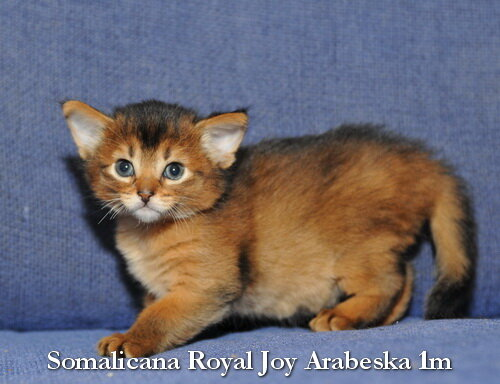 Somali kitten 1 month