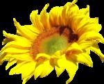 «AD_Sunflower_summer»  0_8c792_f93449d2_S