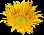 «AD_Sunflower_summer»  0_8c794_7c67c43c_S