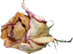 mzimm_bits_of_yesterday_rose_02.png