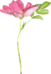 Lilas_Greedy-Pink_elmt (72).png