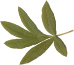 priss_strangebeauty_leaves2.png