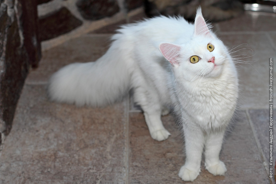фото кошки мейн-кун