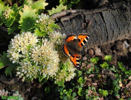 Бабочка на очитке Тополелистном