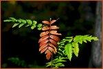 Листья-рябины-в-парке.jpg
