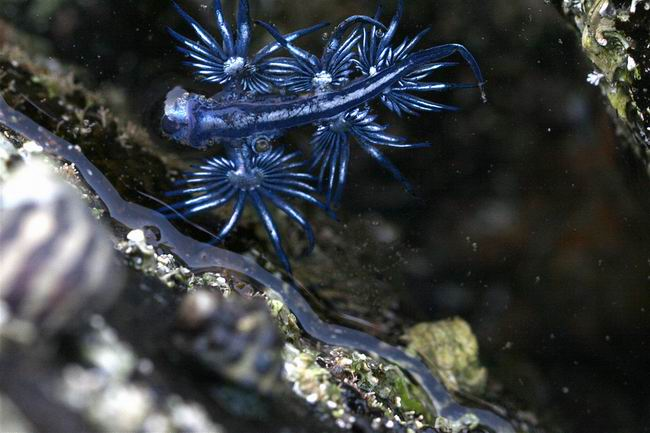 Маленький, голубой и совсем не страшный дракончик. Glaucus atlanticus