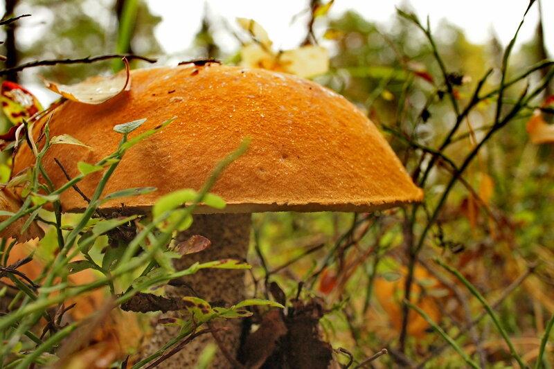 грибы лисички от паразитов противопоказания