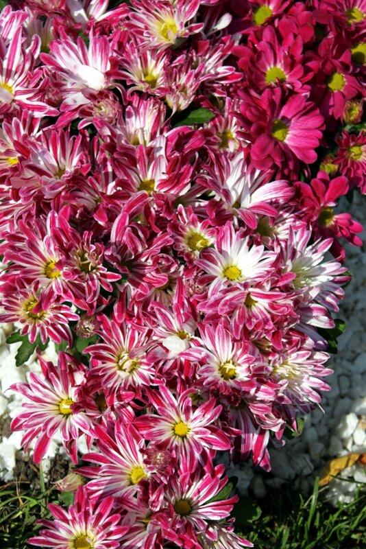 Хризантемы необычной расцветки