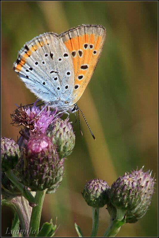 topulia *** август бабочка голубянка лето макро природа прогулка.